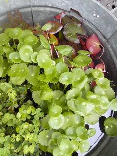 夏を楽しもう水生植物。。。_a0229658_11344559.jpg