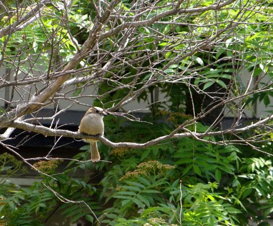 5月のモズの巣作りと、襲ったカラスのことなど_a0136293_19111016.jpg