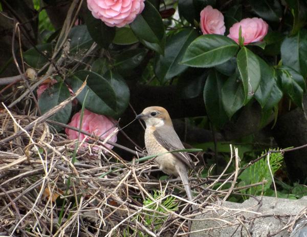 5月のモズの巣作りと、襲ったカラスのことなど_a0136293_199921.jpg