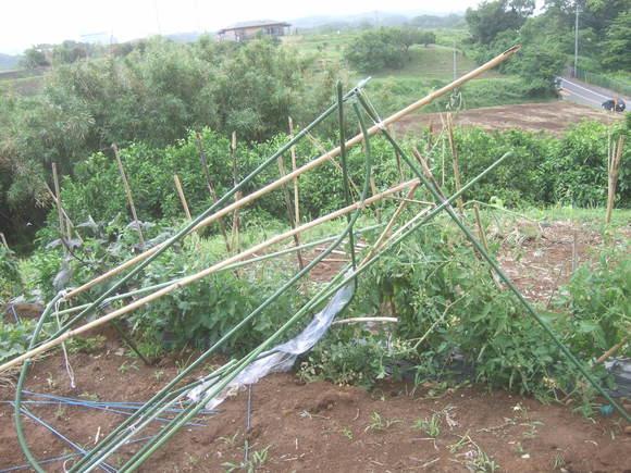 トマトの被害....台風4号直爆(その1)_b0137932_13583360.jpg