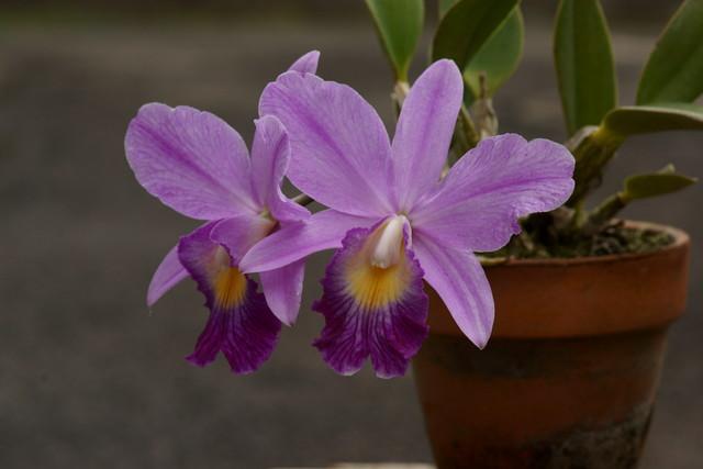 自宅の花(17) ミニラン_b0223668_646373.jpg