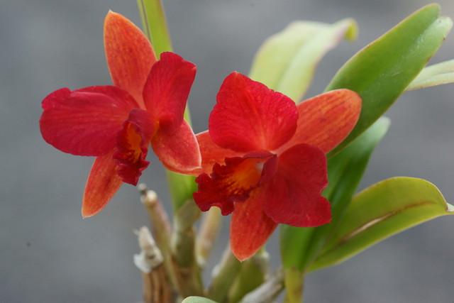 自宅の花(17) ミニラン_b0223668_6471558.jpg