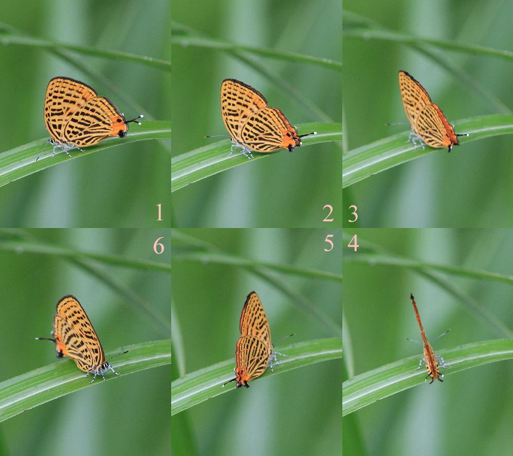 ウラナミアカシジミ   開翅しないことでは最右翼。  2012.6.16栃木県_a0146869_705595.jpg