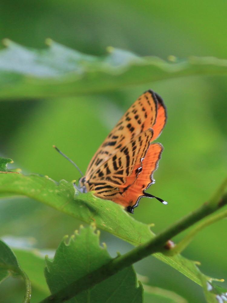 ウラナミアカシジミ   開翅しないことでは最右翼。  2012.6.16栃木県_a0146869_711092.jpg