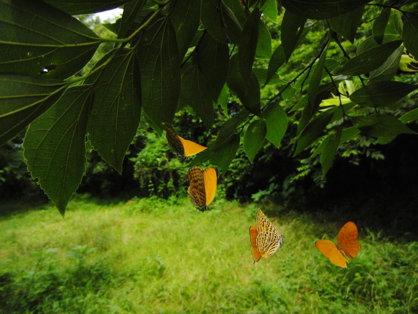 ウラナミアカシジミ   開翅しないことでは最右翼。  2012.6.16栃木県_a0146869_733970.jpg