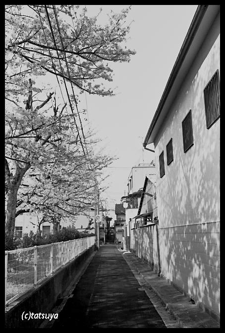 今年の桜 3_f0139991_20373245.jpg