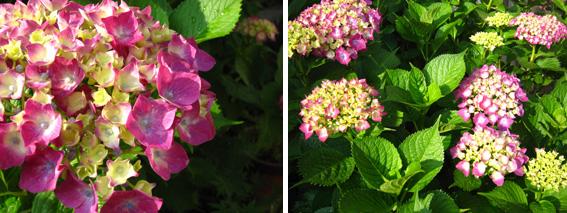 HIROCOカラーは紫陽花カラー_d0154601_1649574.jpg