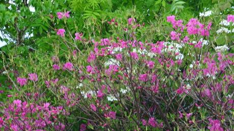 新緑と花もきれいな残雪の鳥海山_c0242406_16145274.jpg