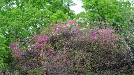新緑と花もきれいな残雪の鳥海山_c0242406_161623.jpg