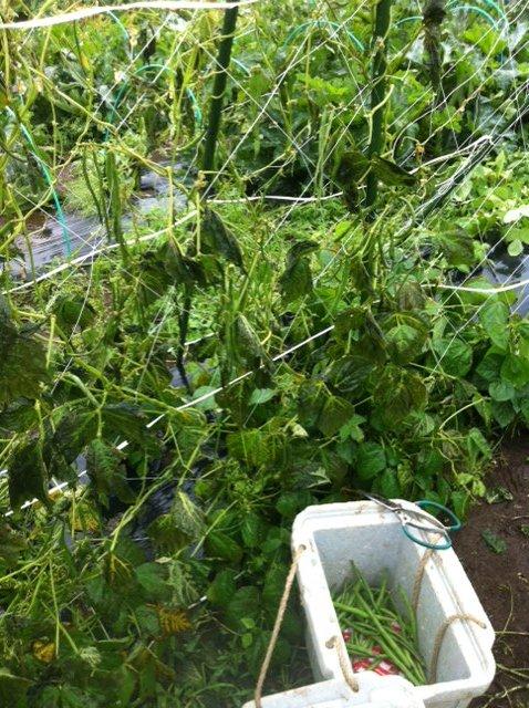 けがをした野菜達・・待ってろよ・・・栄養剤をあげるから 葉面散布肥料です_c0222448_14261320.jpg
