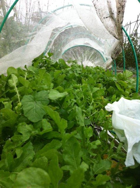 けがをした野菜達・・待ってろよ・・・栄養剤をあげるから 葉面散布肥料です_c0222448_1427595.jpg