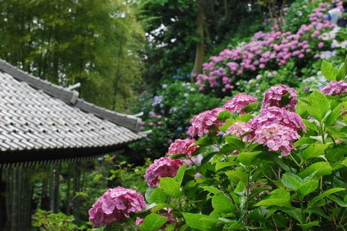鎌倉のあじさい_d0091671_1154932.jpg