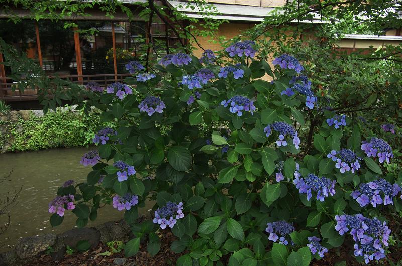 祇園白川のアジサイ_f0155048_1804991.jpg