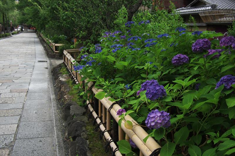 祇園白川のアジサイ_f0155048_1805574.jpg