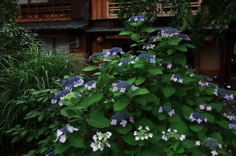 祇園白川のアジサイ_f0155048_181136.jpg
