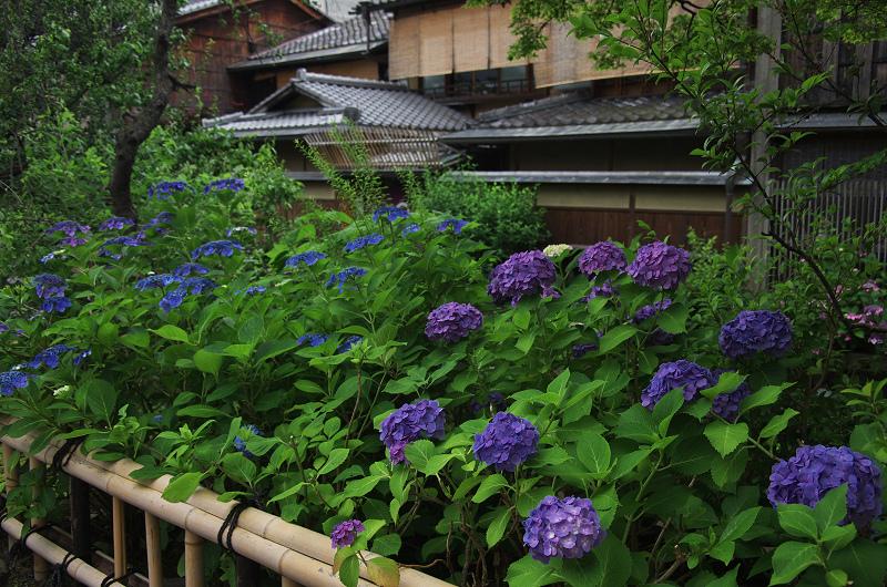 祇園白川のアジサイ_f0155048_181209.jpg