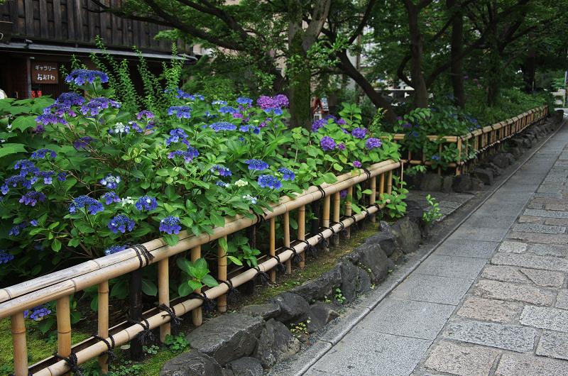 祇園白川のアジサイ_f0155048_1812350.jpg