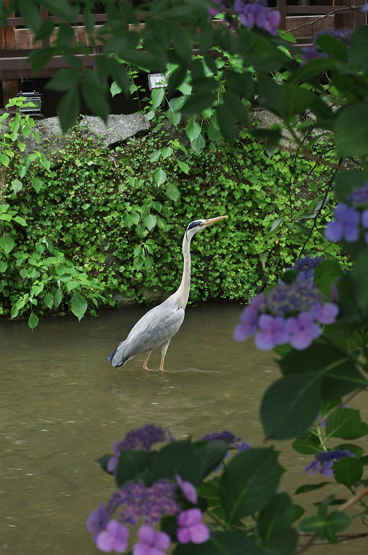 祇園白川のアジサイ_f0155048_1813944.jpg