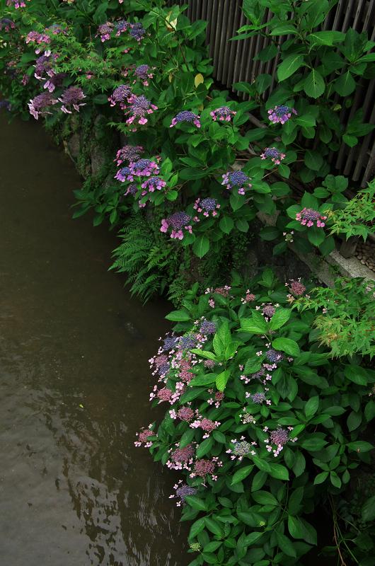 祇園白川のアジサイ_f0155048_1814342.jpg