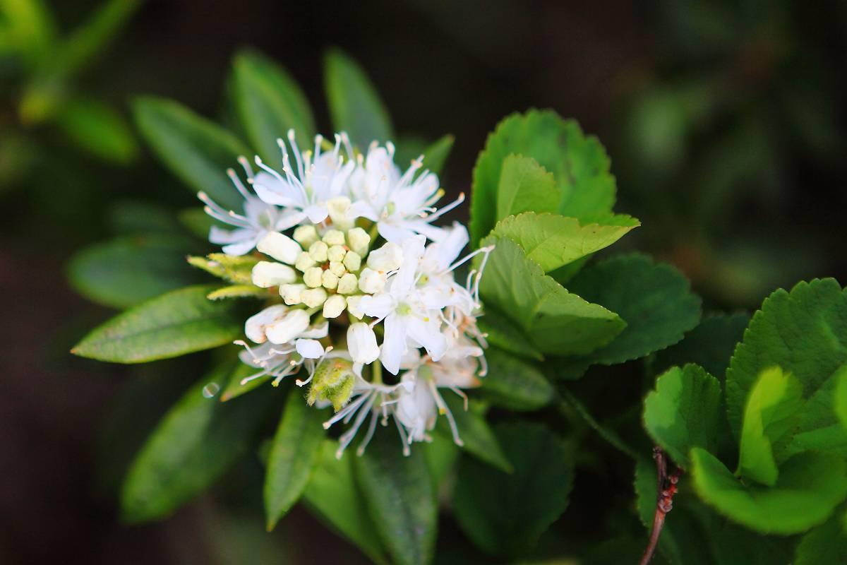 そのほかの高山植物の花_d0106628_1223823.jpg