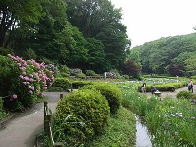 薬師池公園菖蒲園1