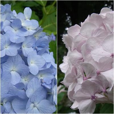薬師池公園菖蒲園の紫陽花