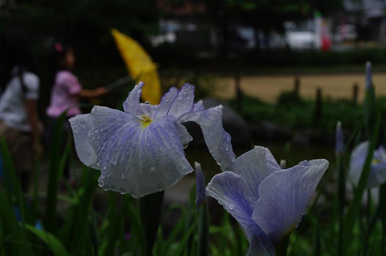 雨のご近所スナップ..._f0152550_12571914.jpg