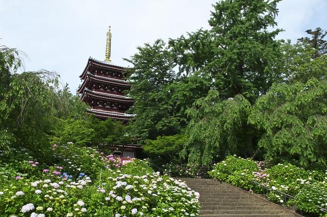 本土寺の紫陽花_f0018464_17351770.jpg