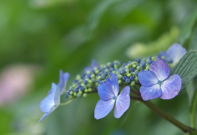 本土寺の紫陽花_f0018464_17353637.jpg