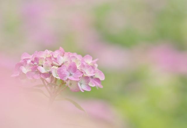 本土寺の紫陽花_f0018464_17354565.jpg