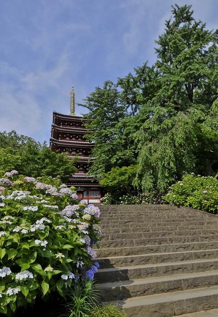 本土寺の紫陽花_f0018464_17355686.jpg