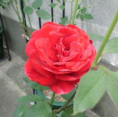 庭の果樹_b0091187_22173817.jpg