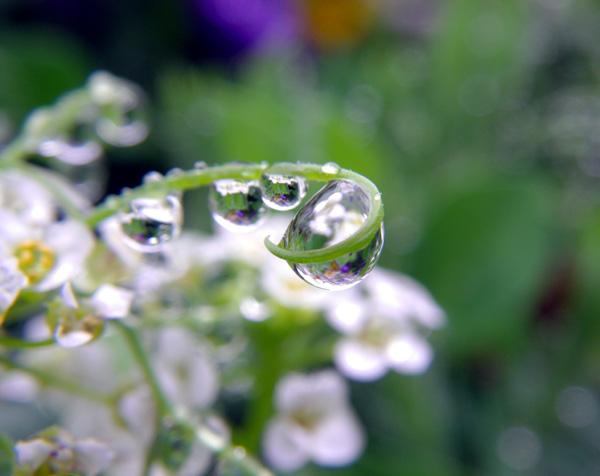 梅雨の朝のビオラなど・・・♪_a0136293_20102619.jpg