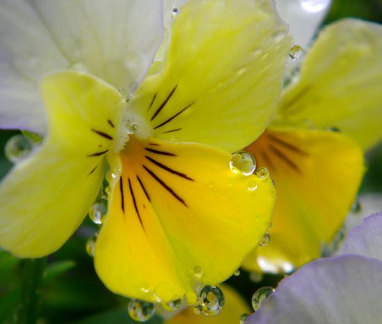 梅雨の朝のビオラなど・・・♪_a0136293_2053641.jpg