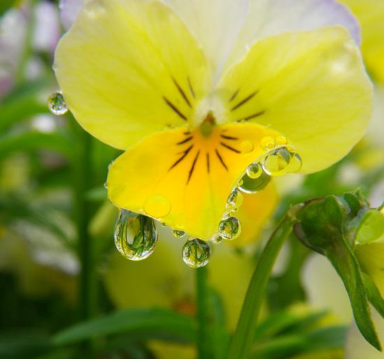 梅雨の朝のビオラなど・・・♪_a0136293_2055353.jpg