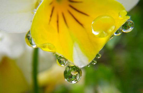 梅雨の朝のビオラなど・・・♪_a0136293_206781.jpg