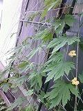 ゴーヤの花が咲いた・・・_c0060919_1128388.jpg