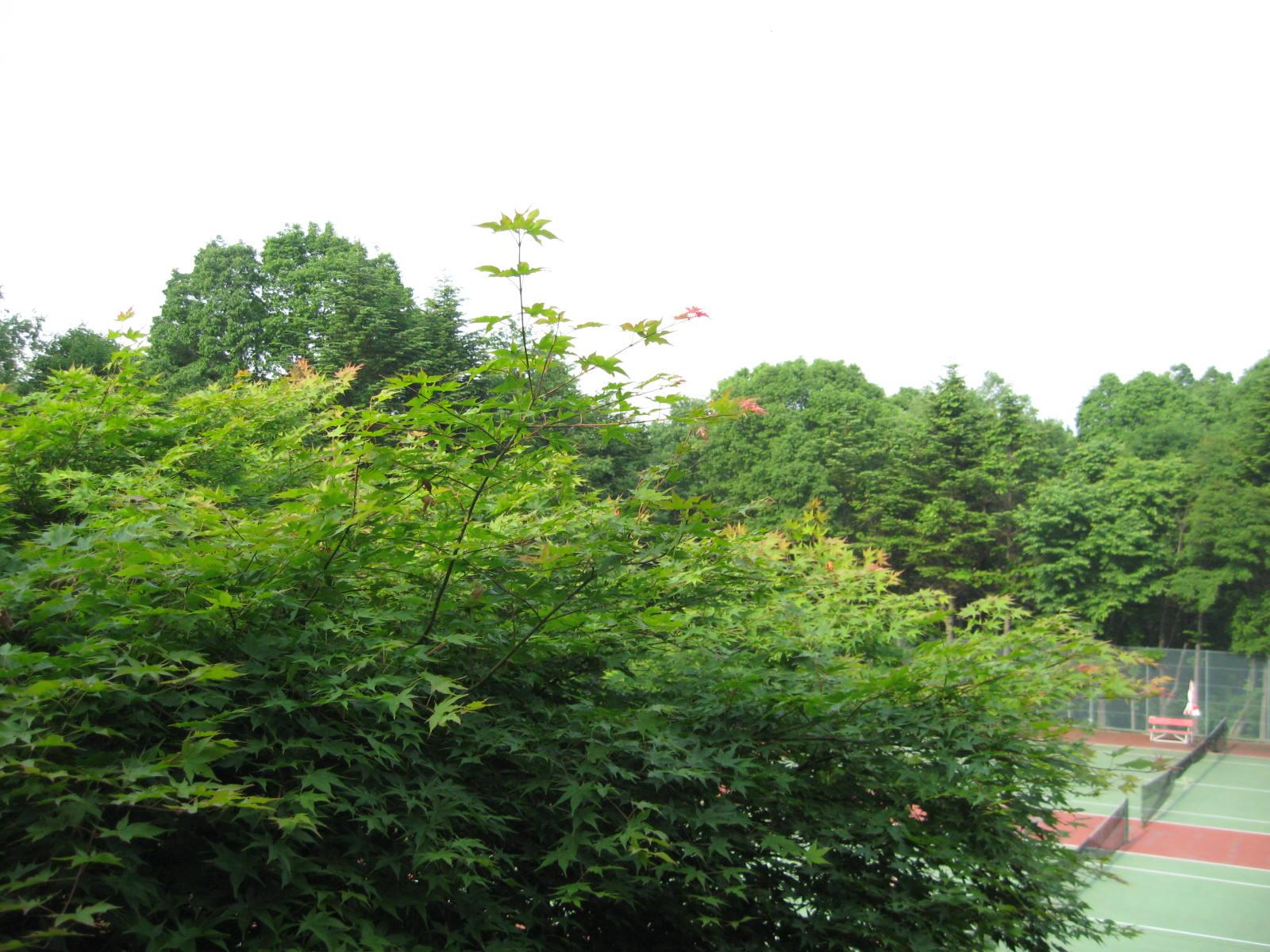 初夏を迎えた、我が家のもみじ_f0146620_2175881.jpg