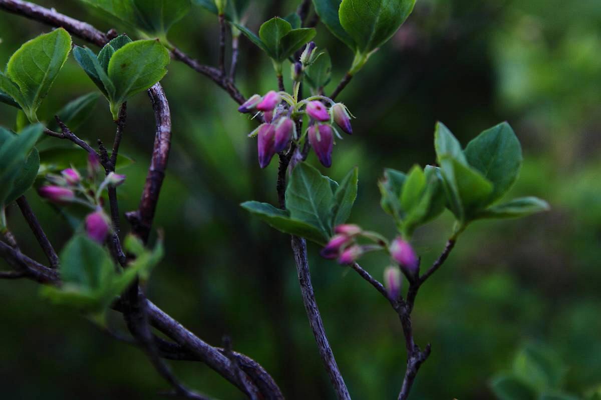 その他の高山植物の花_d0106628_9561491.jpg