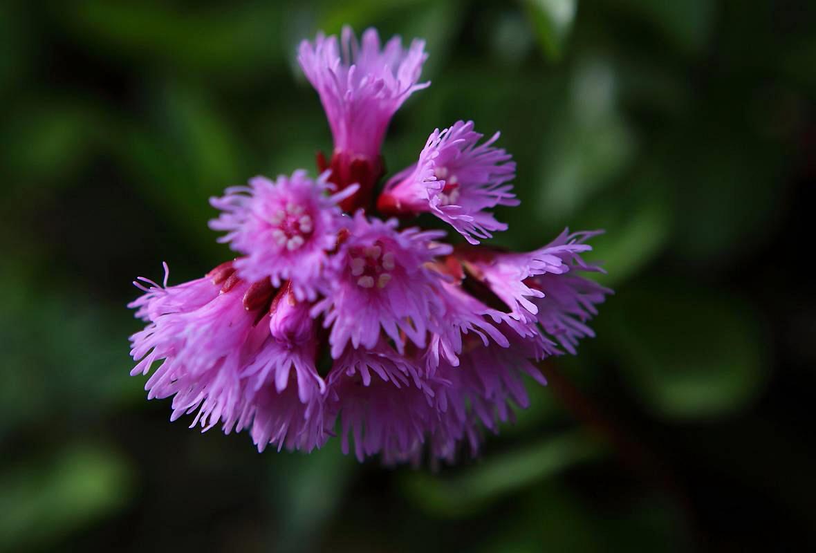 その他の高山植物の花_d0106628_956377.jpg
