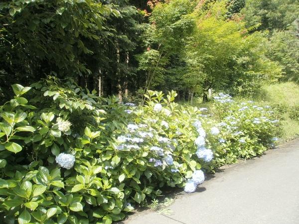 我が家の周りの・・紫陽花の花_a0174458_10502468.jpg