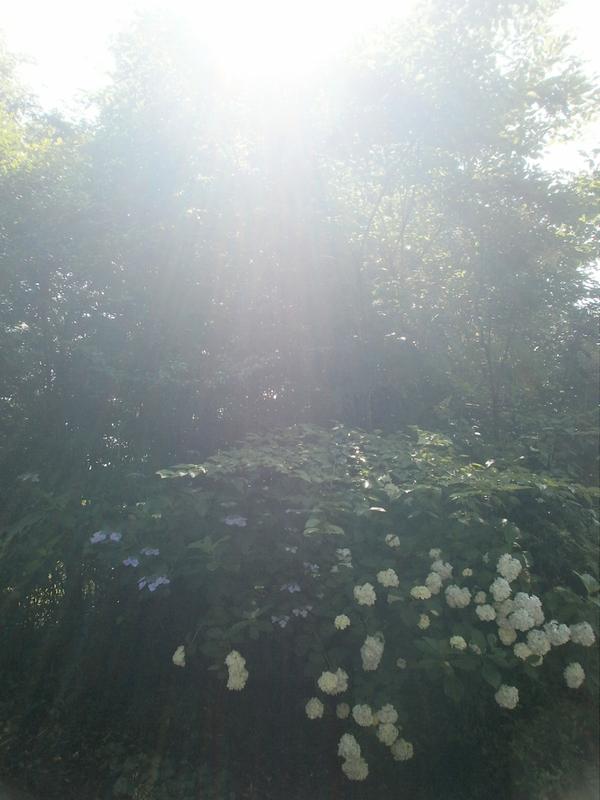 我が家の周りの・・紫陽花の花_a0174458_11124143.jpg