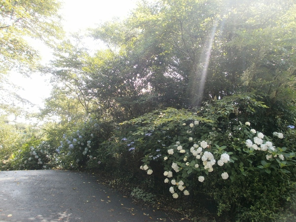 我が家の周りの・・紫陽花の花_a0174458_1134956.jpg