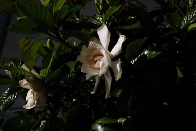 夜の灯火にくちなしの花がなまめかしく_a0031363_15385367.jpg
