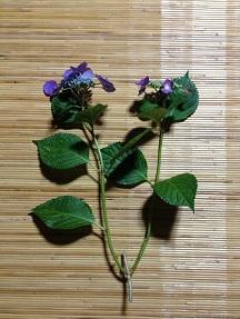 紫陽花のおまじない 追記_e0202518_20313267.jpg