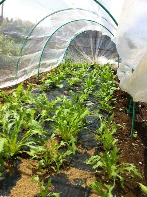生き残った野菜たち・・・これから復活する野菜たち_c0222448_1552178.jpg