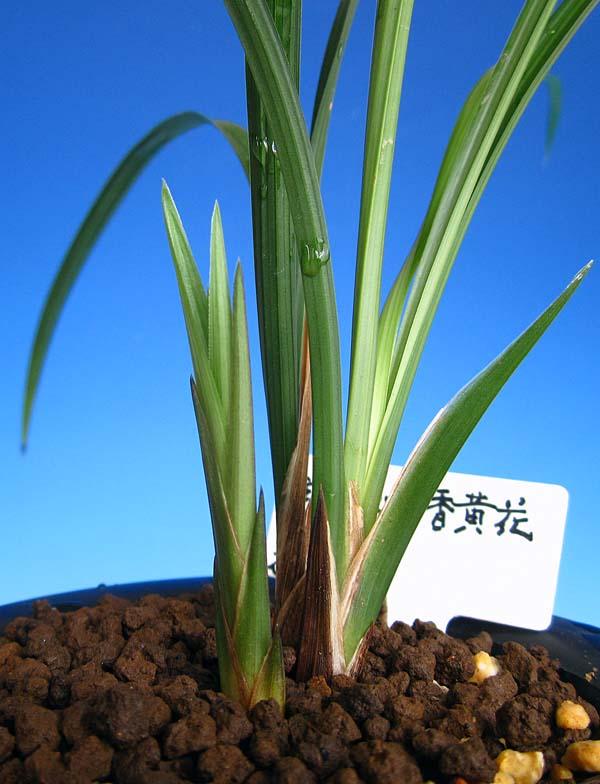 中国春蘭「武夷山無香黄花」            No.1178_d0103457_043523.jpg