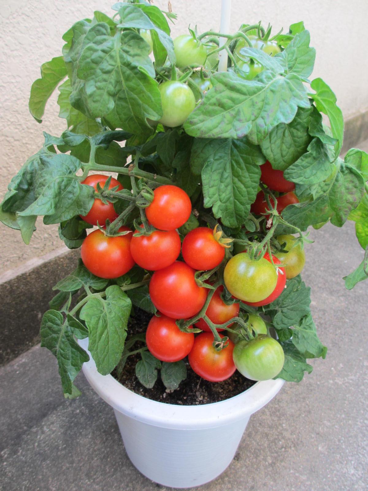 ミニ トマト 鉢植え