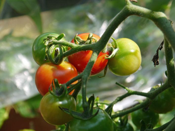 キュウリ、ナス、ミニトマトを初収穫(12・6・24~26)_c0014967_1926439.jpg