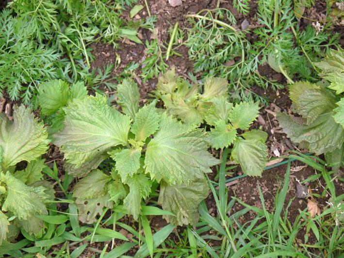 キュウリ、ナス、ミニトマトを初収穫(12・6・24~26)_c0014967_1931576.jpg